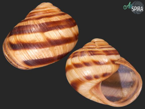 Helix albescens