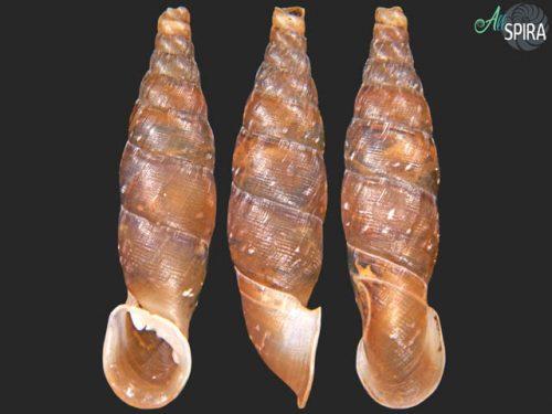 Garnieria mouhoti