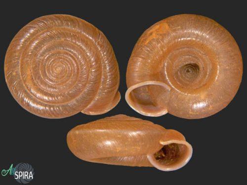 Aegista subchinensis