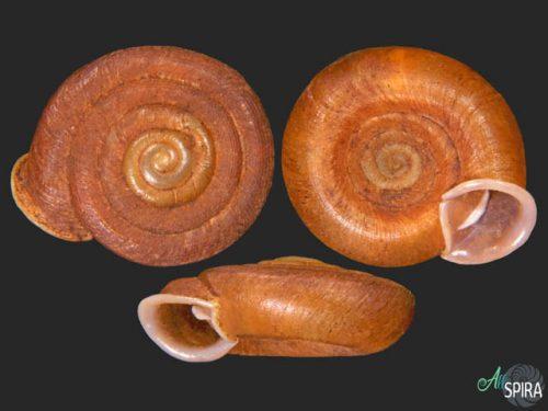 Plectopylis malayana