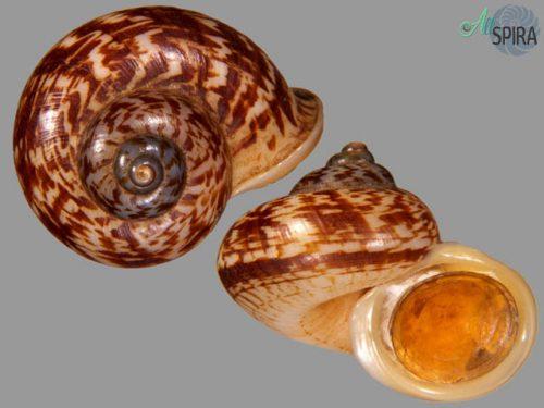 Cyclophorus zebrinus