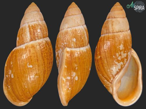 Placostylus fibratus