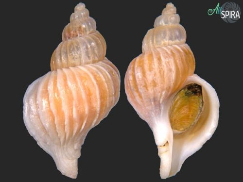 Boreotrophon clathratus
