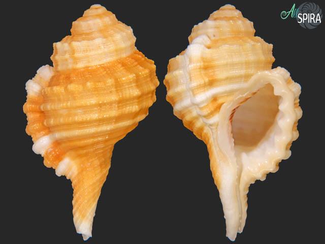 Ranularia cynocephala