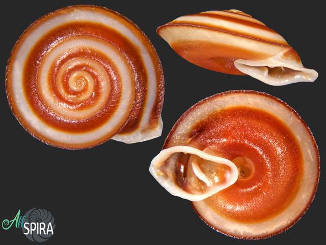 Labyrinthus chiriquensis