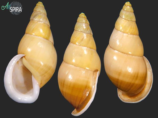 Amphidromus reflexilabris