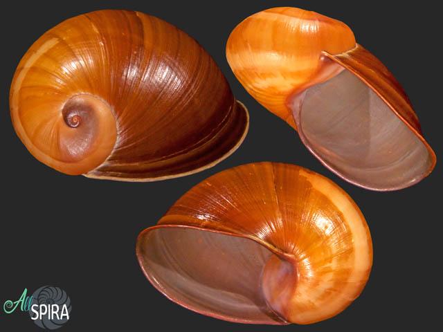 Helicophanta souverbiana