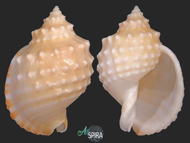 Echinophoria kurodai