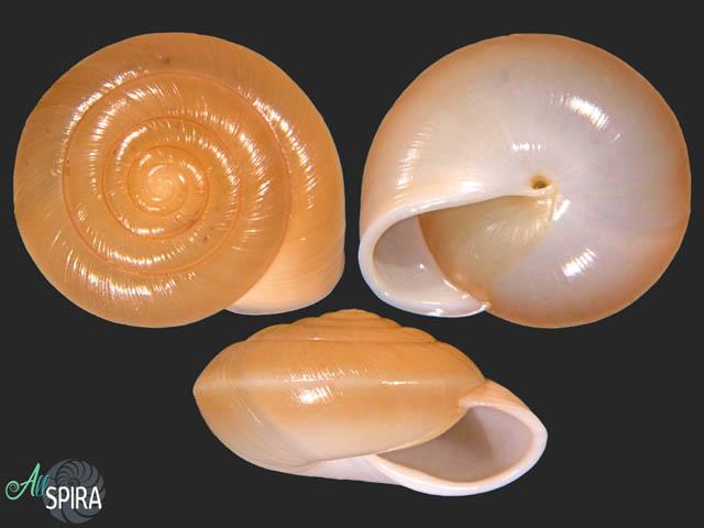 Ariophanta tongkinensis
