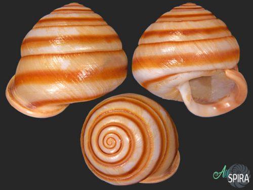 Jeanneretia subtussulcata