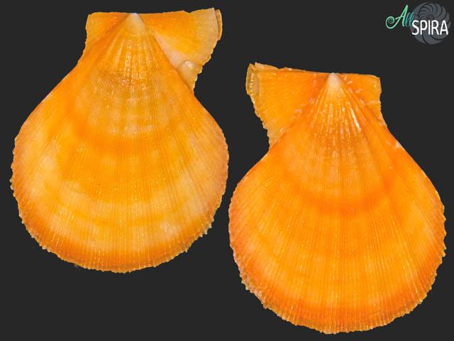 Semipallium fulvicostatum
