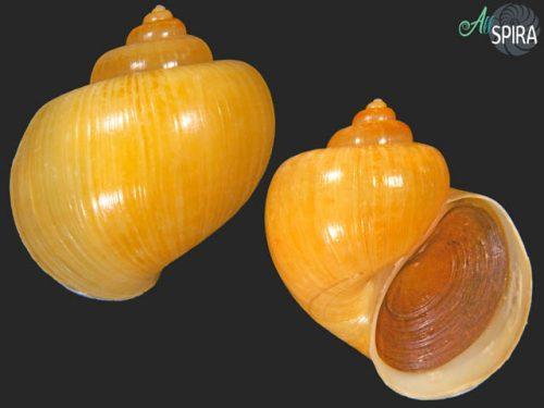 Pomacea diffusa