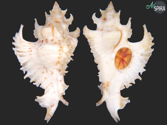 Purpurellus gambiensis