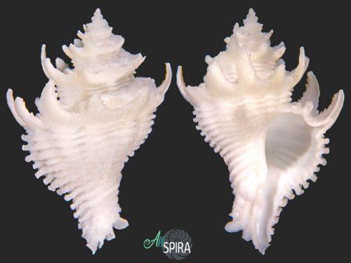 Babelomurex japonicus