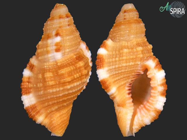 Monoplex martinianus