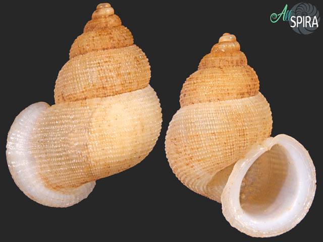 Chondrothyrium violaceum jaumei