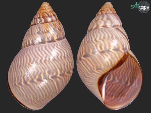 Orthalicus undatus
