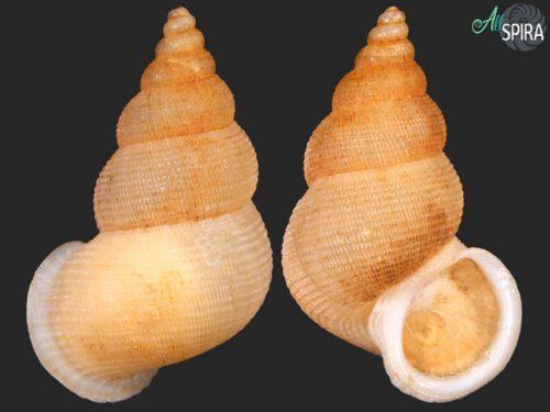 Chondrothyrium violaceum violaceum