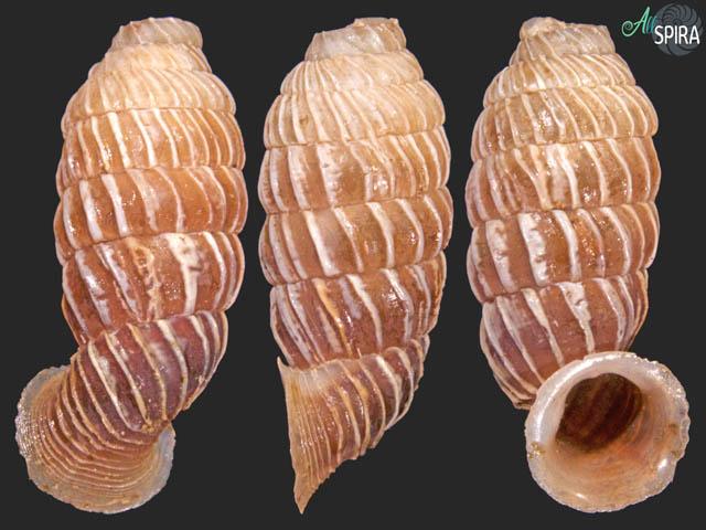 Trilamellaxis parallela parallela
