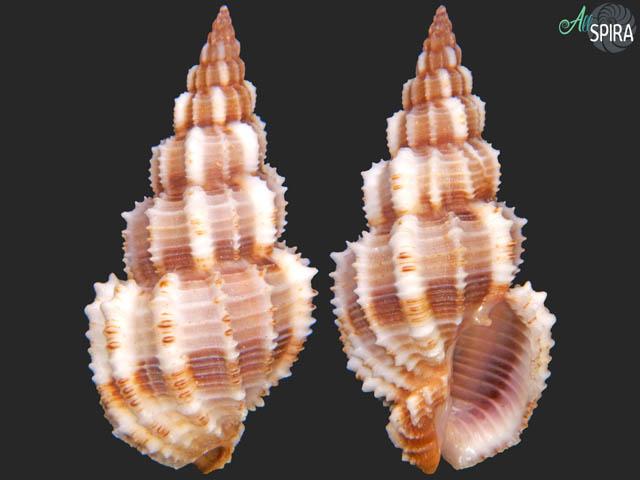 Phos senticosus