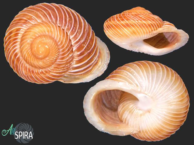 Hemicycla plicaria