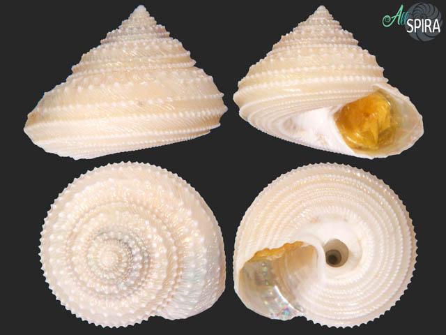 Calliotropis glypta