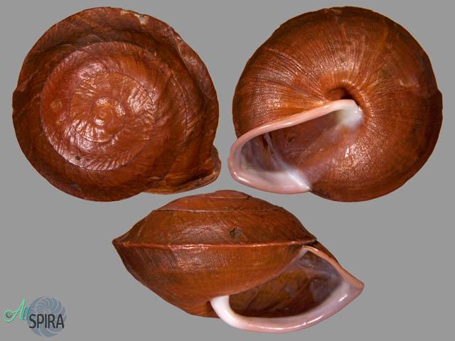 Camaena illustris vanbuensis