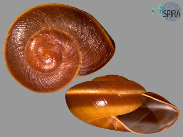 Lamarckiella oweiana
