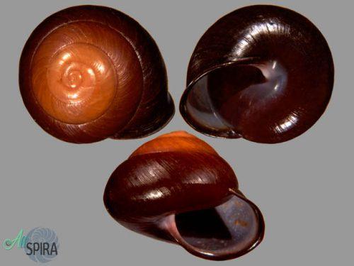 Anixa carbonaria carbonaria