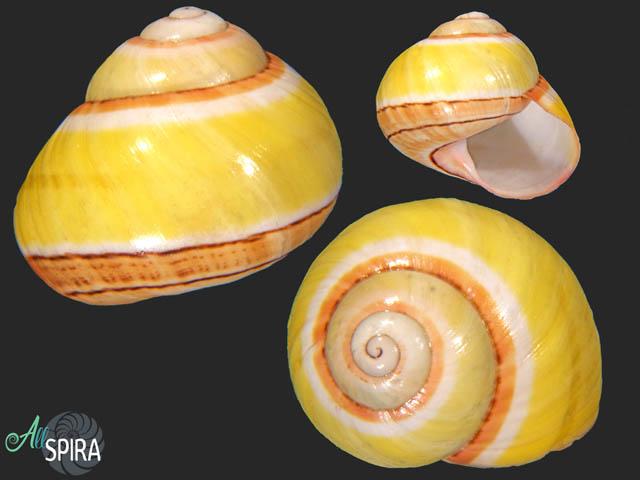 Polymita versicolor - Very rare color