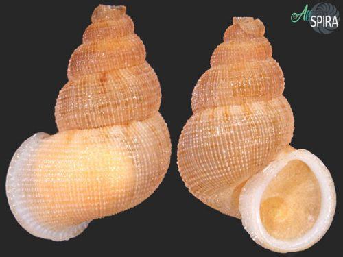 Chondrothyrium violaceum mortei