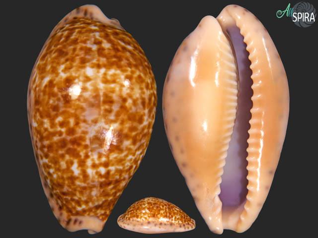 Pseudozonaria annettae - BIG SIZE