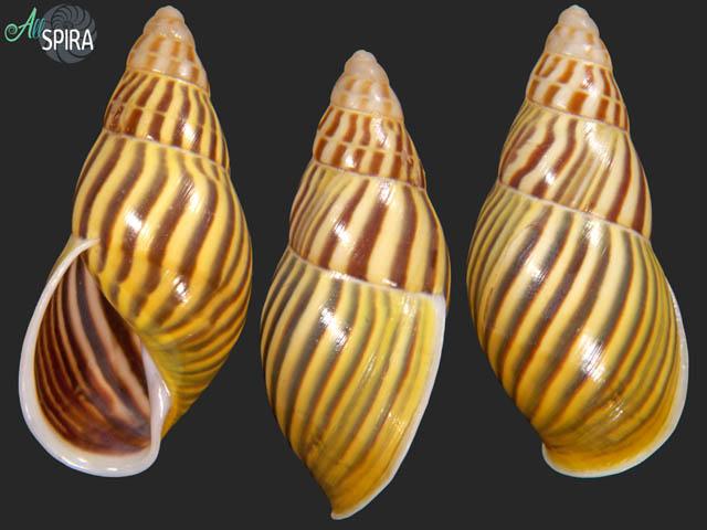 Amphidromus oscitans - RARE