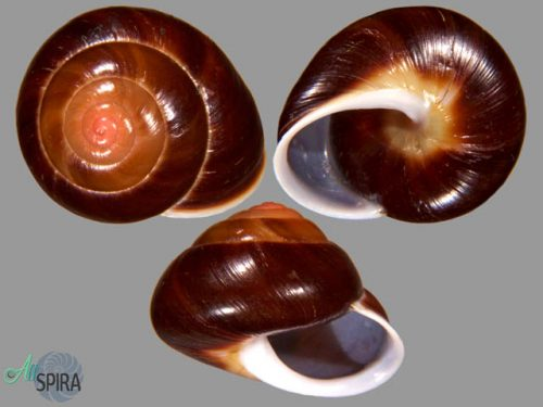 Coryda alauda cf cymatia