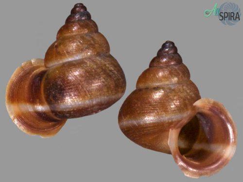 Boucardicus cf albocinctus