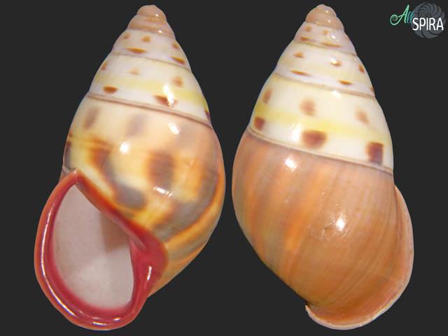 Amphidromus latestrigatus