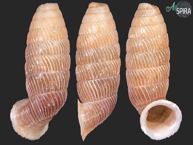 Trilamellaxis parallela guajabanaensis