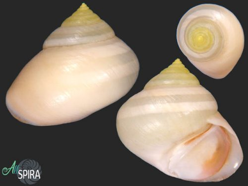 Viana regina laevigata - ALBINO