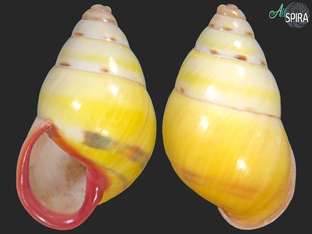 Amphidromus latestrigatus consobrinus