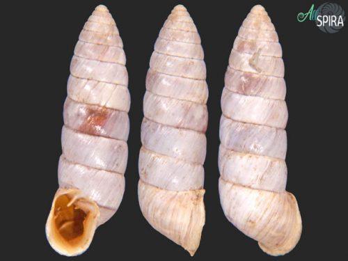 Fauxulus agulhasensis