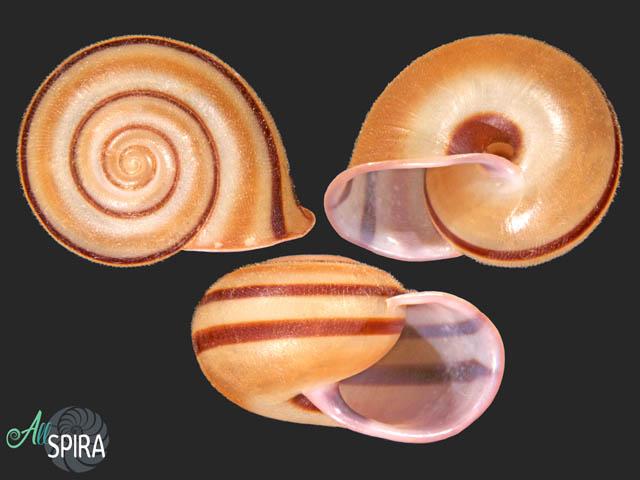 Tricheulota zodiacus tuba