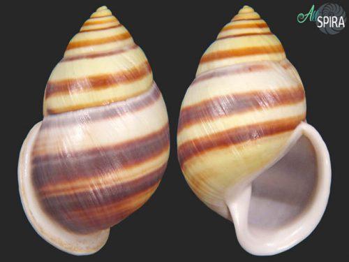 Amphidromus heerianus robustus