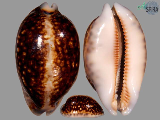 Mauritia eglantina - NIGER