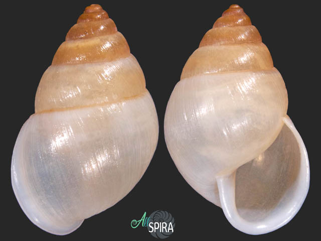 Bulimulus ovulum