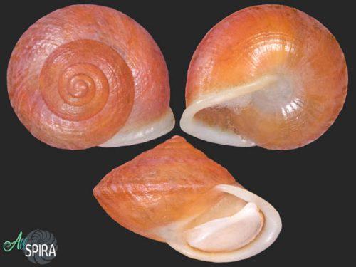 Helicina schlueteri densesulcata