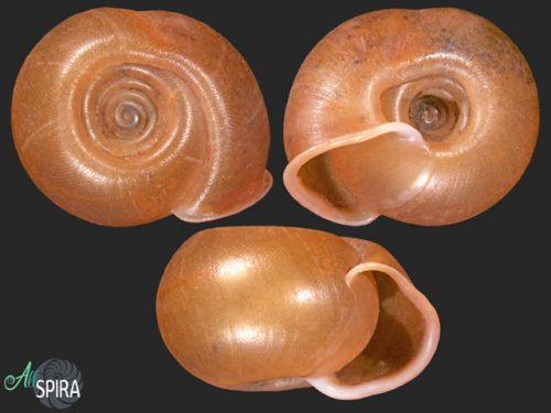 Chlorites bifoveata