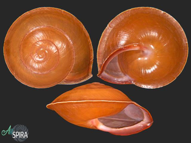 Anixa siquijorensis