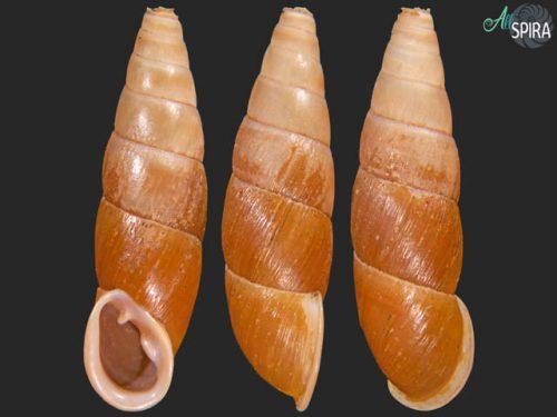 Megalophaedusa martensi tinctilabris