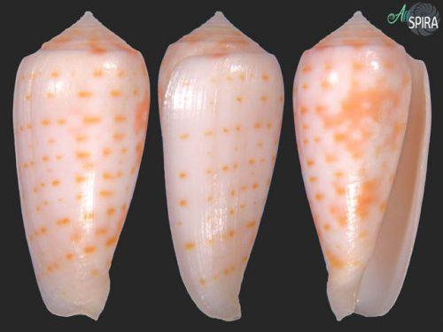 Conus timorensis