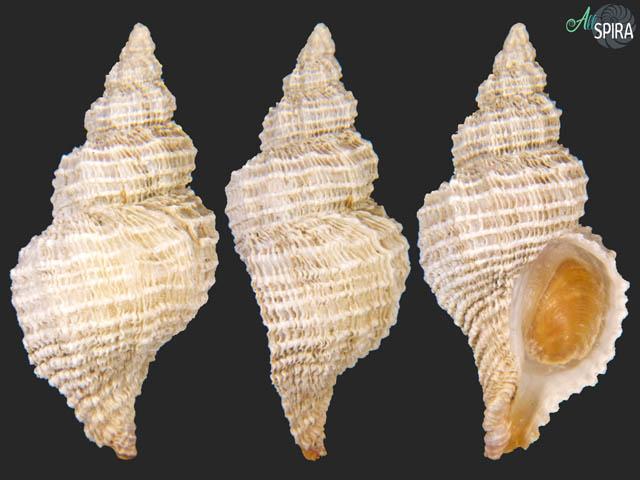 Fuegotrophon pallidus